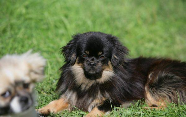 Тибетский спаниель (Тобби). Все про породу собаки, фото и правила содержания