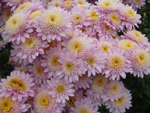 По секрету от флористов: признаки идеальных тюльпанов, хризантем и роз