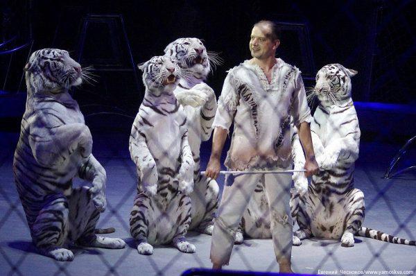 Дрессировщику тигров по вечерам приходится разносить еду