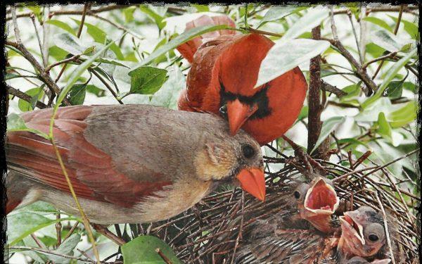Красный кардинал,