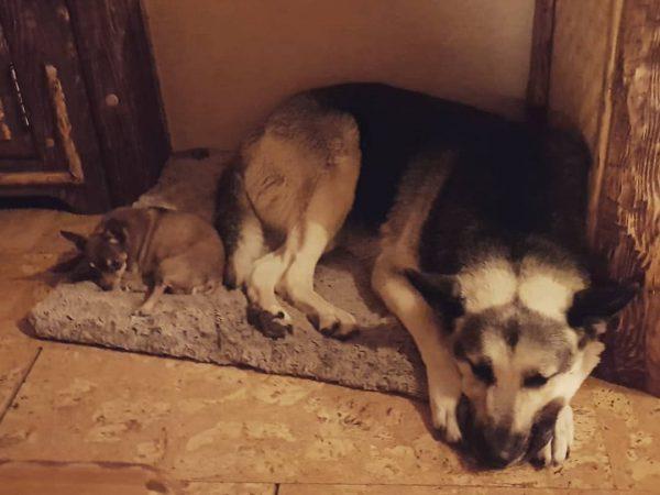 Собаки Азизы Зюзя и Рики