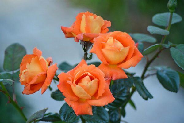 Роза Луи де Фюнес,