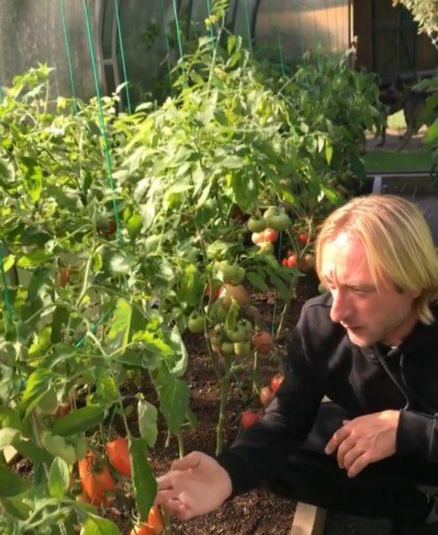 Евгений Плющенко выращивает помидоры