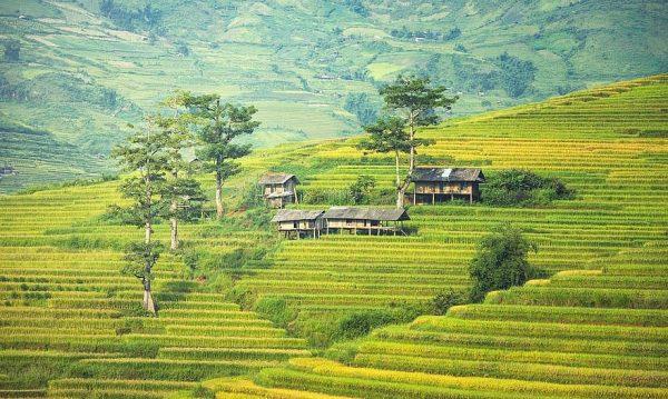 Чайные плантации в Таиланде. Фото pikist.com