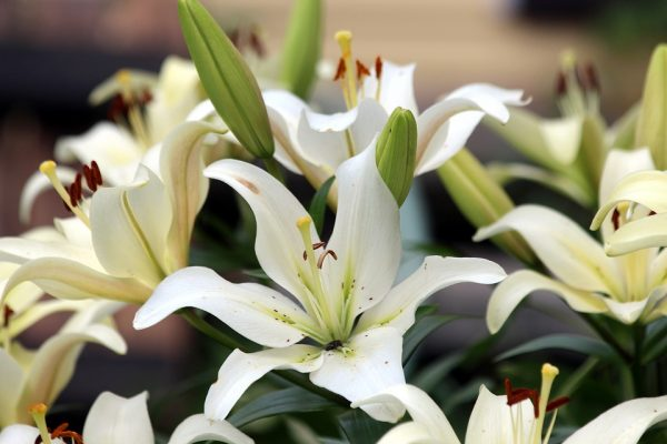 Cкромный набор белых лилий